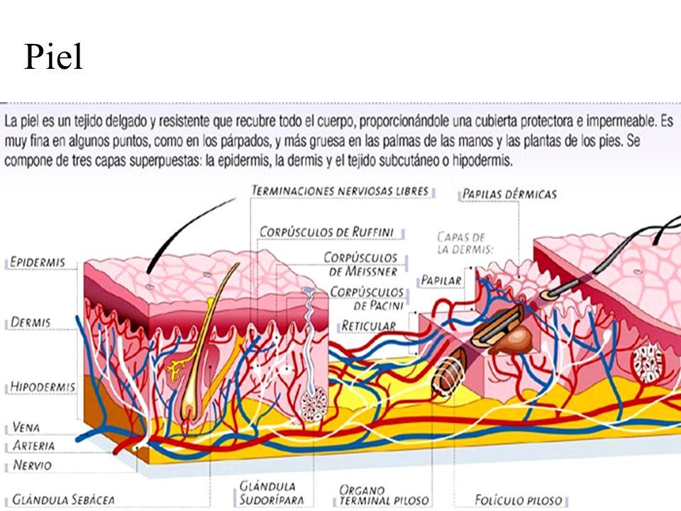 Piel: corpúsculos de Meissner Corpúsculos de Meissner: receptores que determinan la sensación de contacto.