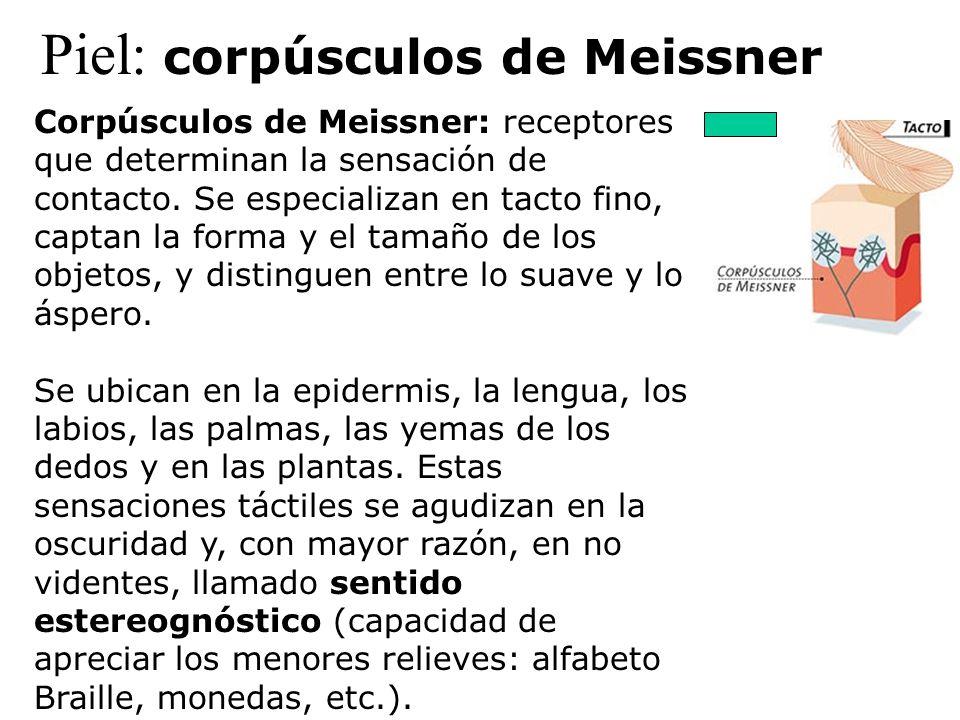 Piel: corpúsculos de Meissner Corpúsculos de Meissner: receptores que determinan la sensación de contacto. Se especializan en tacto fino, captan la fo
