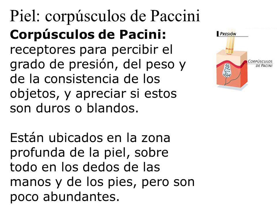 Piel: corpúsculos de Paccini Corpúsculos de Pacini: receptores para percibir el grado de presión, del peso y de la consistencia de los objetos, y apre