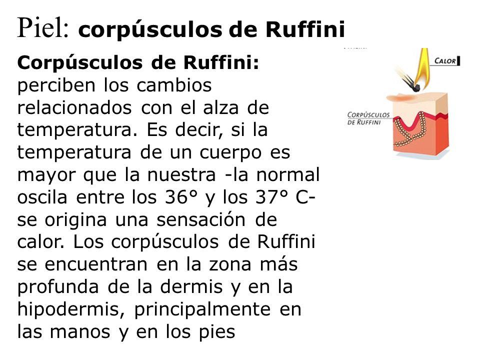 Piel: corpúsculos de Ruffini Corpúsculos de Ruffini: perciben los cambios relacionados con el alza de temperatura. Es decir, si la temperatura de un c