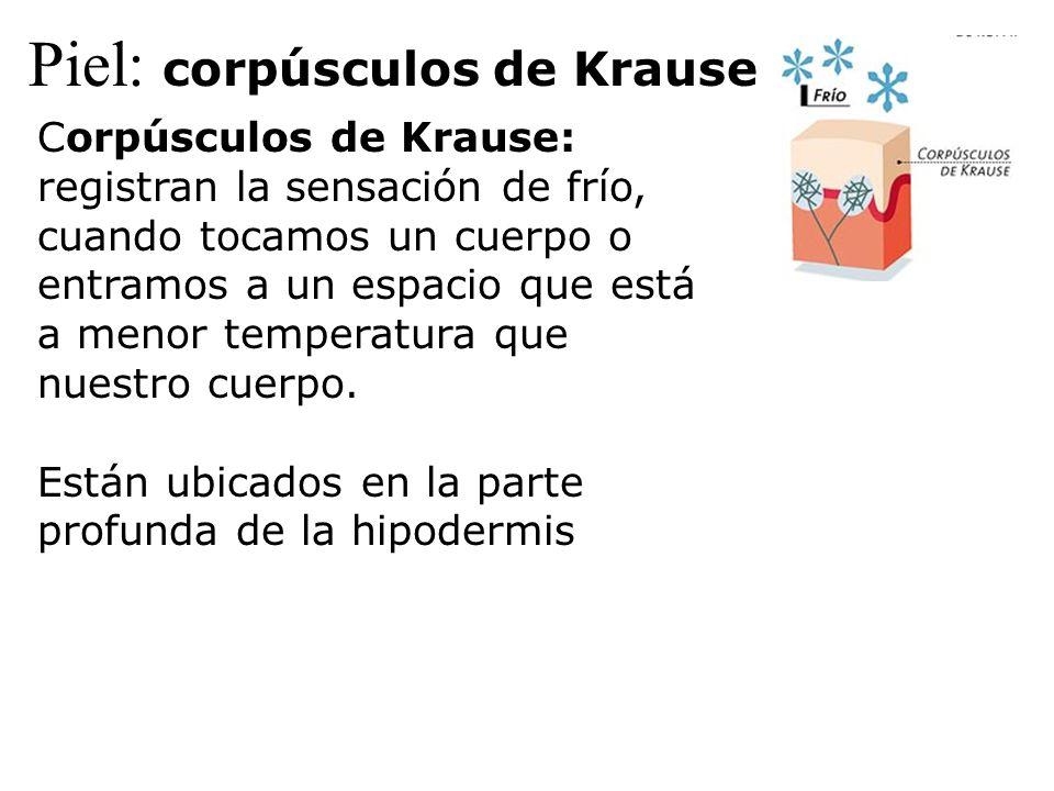 Piel: corpúsculos de Krause Corpúsculos de Krause: registran la sensación de frío, cuando tocamos un cuerpo o entramos a un espacio que está a menor t
