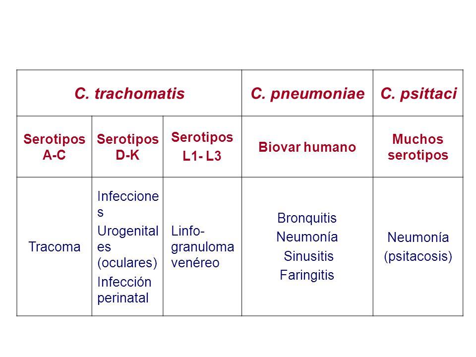 C. trachomatisC. pneumoniaeC. psittaci Serotipos A-C Serotipos D-K Serotipos L1- L3 Biovar humano Muchos serotipos Tracoma Infeccione s Urogenital es