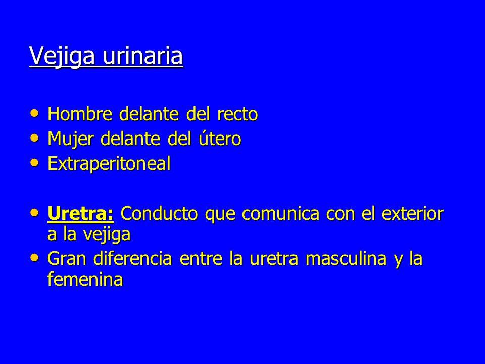 Uretra masculina : mide aproximadamente entre 17 y 22 cm de longitud Uretra masculina : mide aproximadamente entre 17 y 22 cm de longitud