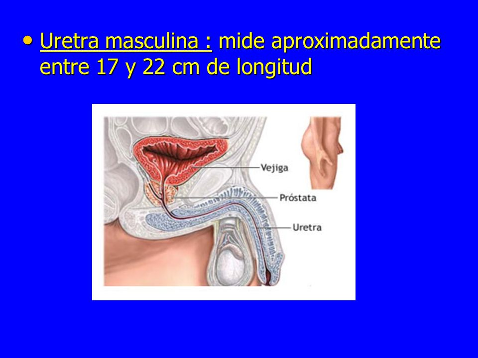 Uretra femenina: mide entre 4 a 5 cm de longitud aproximadamente con un ancho de 6mm Uretra femenina: mide entre 4 a 5 cm de longitud aproximadamente con un ancho de 6mm