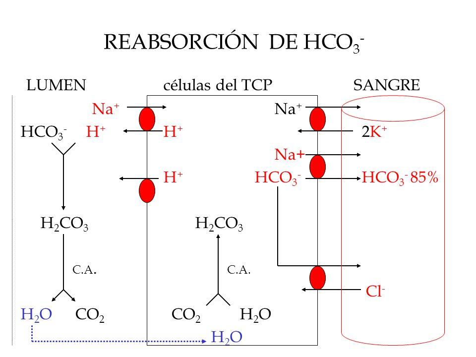 REABSORCIÓN DE HCO 3 - LUMENcélulas del TCPSANGRE Na + Na + HCO 3 - H + H + 2K + Na+ H + HCO 3 - HCO 3 - 85% H 2 CO 3 H 2 CO 3 C.A.