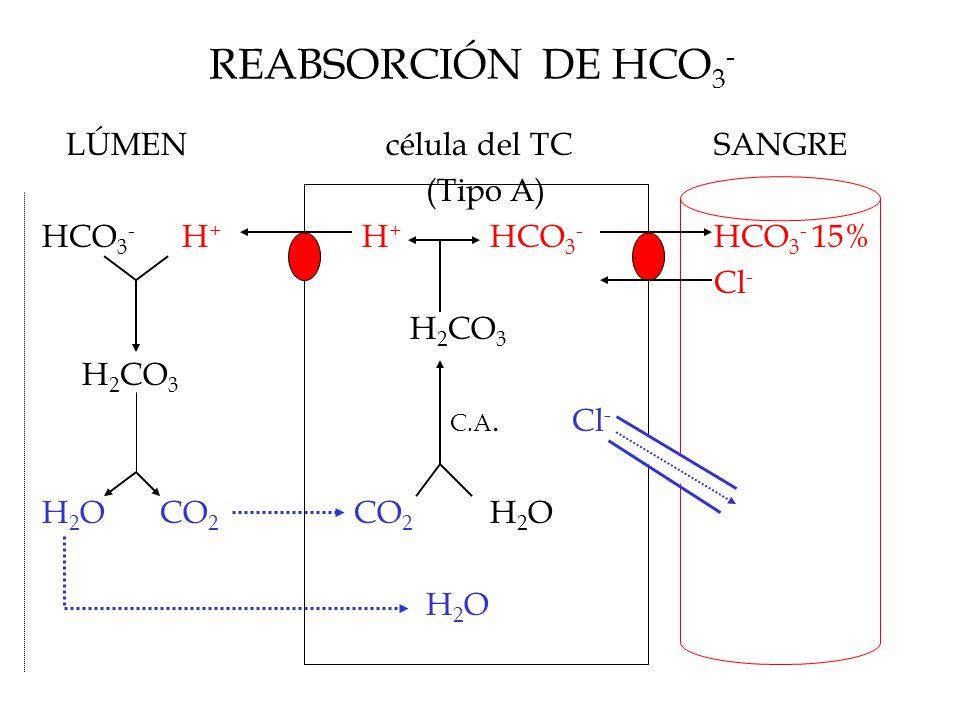 REABSORCIÓN DE HCO 3 - LÚMEN célula del TCSANGRE (Tipo A) HCO 3 - H + H + HCO 3 - HCO 3 - 15% Cl - H 2 CO 3 C.A.