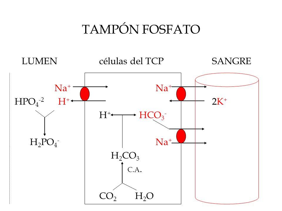 TAMPÓN FOSFATO LUMENcélulas del TCPSANGRE Na + Na + HPO 4 -2 H + 2K + H + HCO 3 - H 2 PO 4 - Na + H 2 CO 3 C.A.