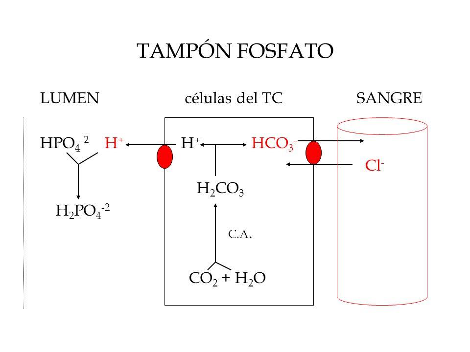 TAMPÓN FOSFATO LUMEN células del TC SANGRE HPO 4 -2 H + H + HCO 3 - Cl - H 2 CO 3 H 2 PO 4 -2 C.A.