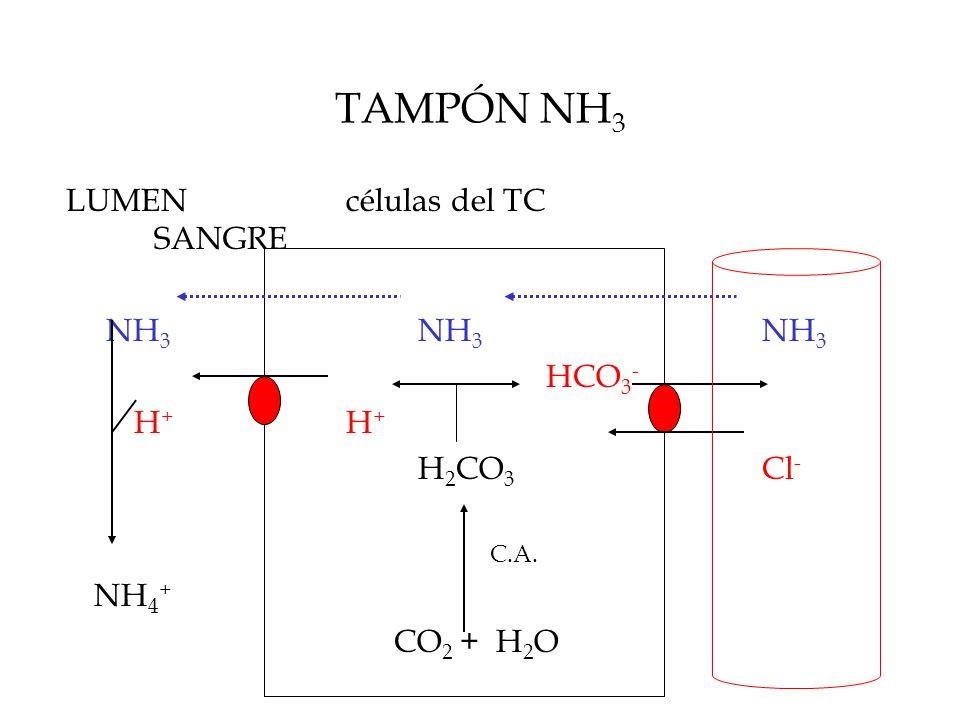 TAMPÓN NH 3 LUMENcélulas del TC SANGRE NH 3 NH 3 NH 3 HCO 3 - H + H + H 2 CO 3 Cl - C.A.
