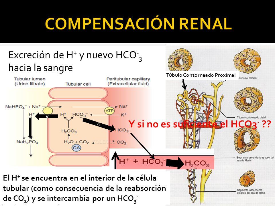Excreción de H + y nuevo HCO - 3 hacia la sangre Túbulo Contorneado Proximal El H + se encuentra en el interior de la célula tubular (como consecuencia de la reabsorción de CO 2 ) y se intercambia por un HCO 3 - Y si no es suficiente el HCO3 - ?.