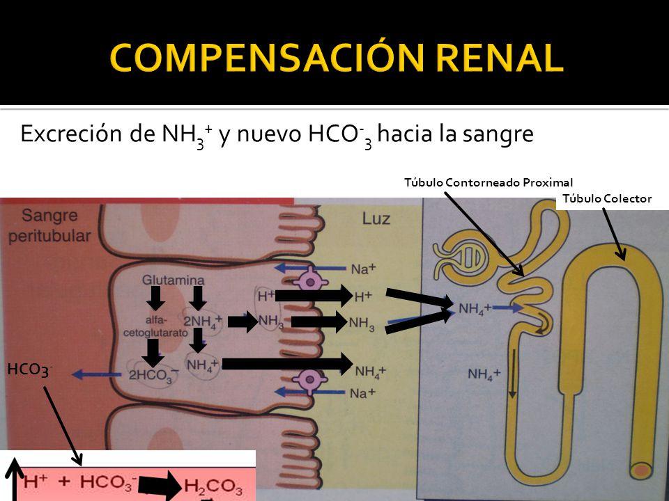 Excreción de NH 3 + y nuevo HCO - 3 hacia la sangre Túbulo Contorneado Proximal Túbulo Colector HCO3 -