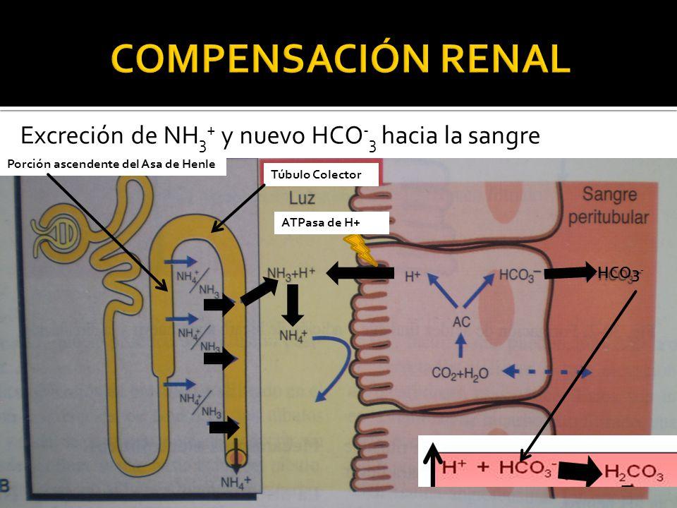 Excreción de NH 3 + y nuevo HCO - 3 hacia la sangre Túbulo Colector Porción ascendente del Asa de Henle HCO3 - ATPasa de H+