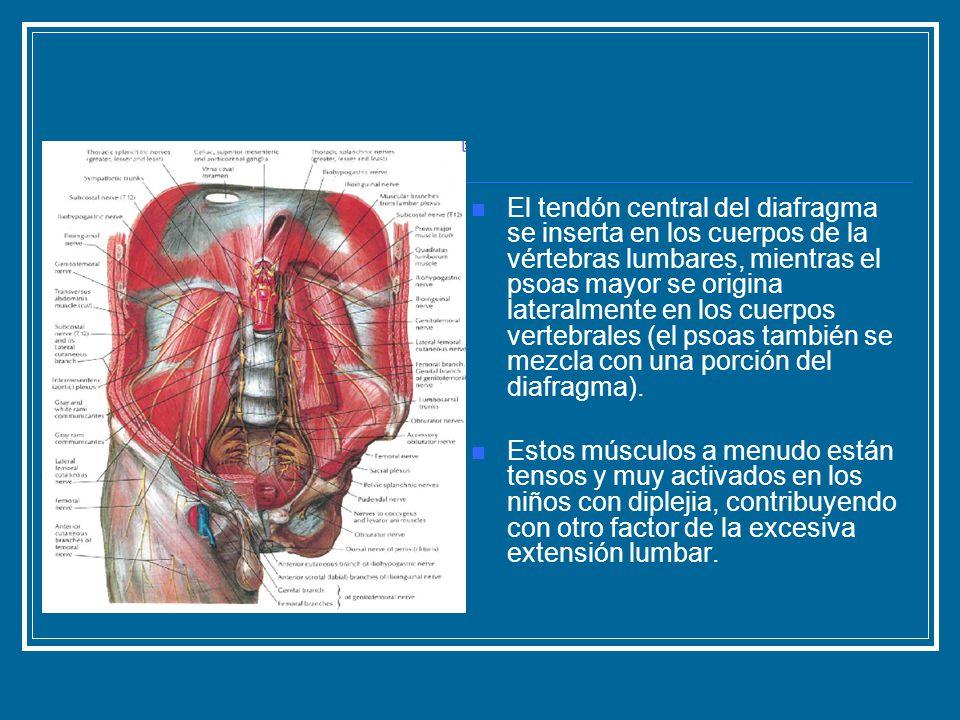 El tendón central del diafragma se inserta en los cuerpos de la vértebras lumbares, mientras el psoas mayor se origina lateralmente en los cuerpos ver