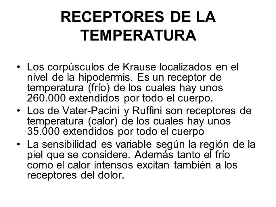 RECEPTORES DE LA TEMPERATURA Los corpúsculos de Krause localizados en el nivel de la hipodermis. Es un receptor de temperatura (frío) de los cuales ha