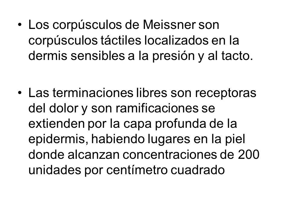 Los corpúsculos de Meissner son corpúsculos táctiles localizados en la dermis sensibles a la presión y al tacto. Las terminaciones libres son receptor