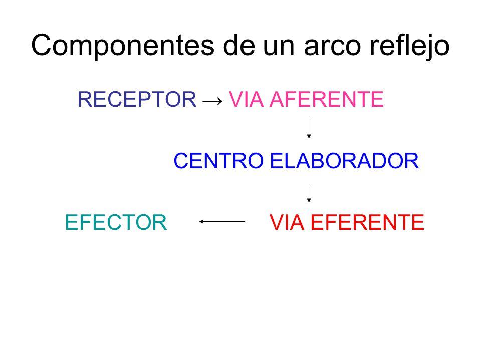 Componentes de un arco reflejo RECEPTOR → VIA AFERENTE CENTRO ELABORADOR EFECTOR VIA EFERENTE