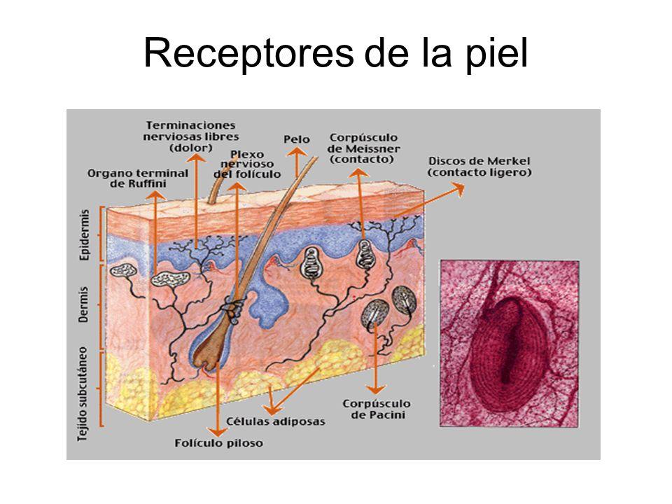 Receptores de la piel