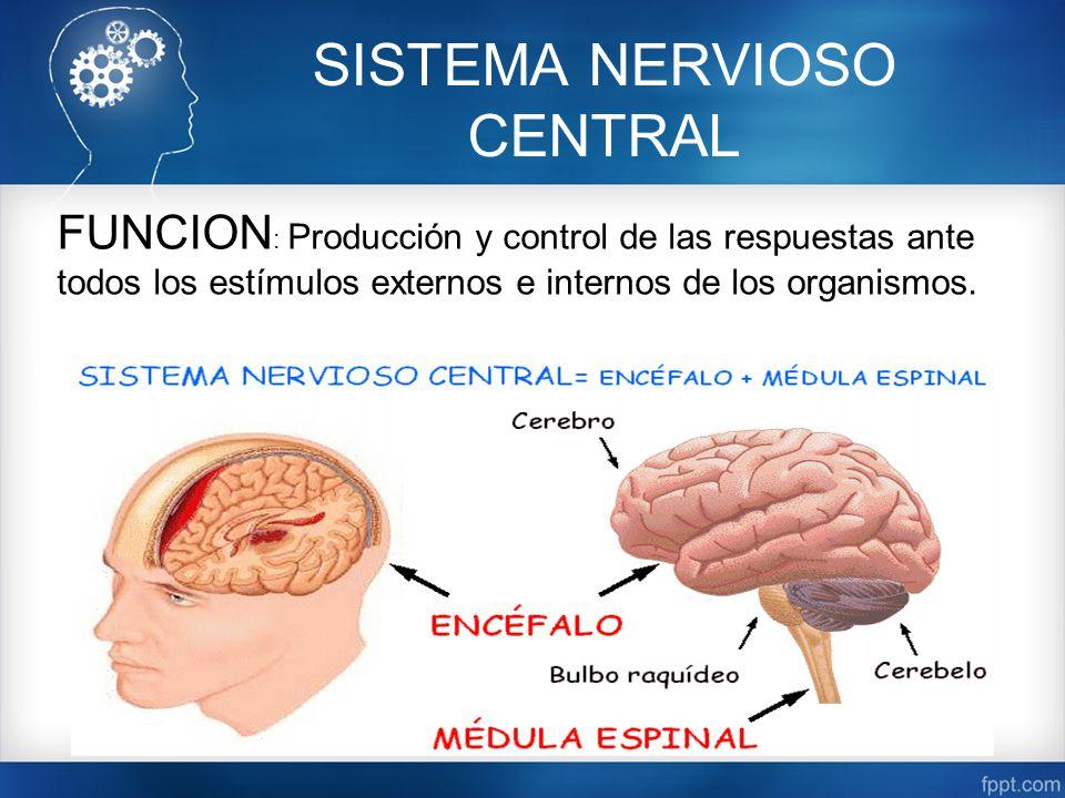 Hermosa Función De Los Nervios Componente - Imágenes de Anatomía ...
