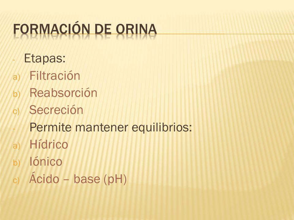 - Etapas: a) Filtración b) Reabsorción c) Secreción - Permite mantener equilibrios: a) Hídrico b) Iónico c) Ácido – base (pH)