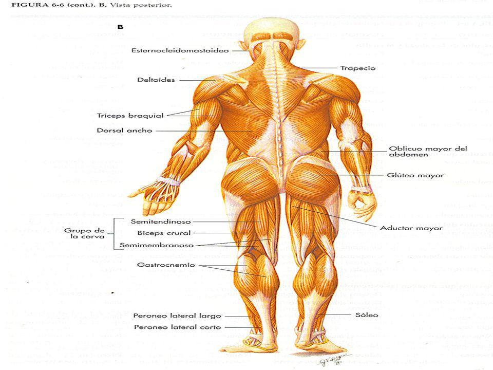 Grupos musculares esqueléticos A.Músculos de la cabeza y el cuello 1.Músculos faciales a)Orbicular de los párpados b)Orbicular de los labios c)Cigomático 2.Músculos de la masticación a)Masetero b)Temporal 3.Esternocleidomastoideo 4.Trapecio