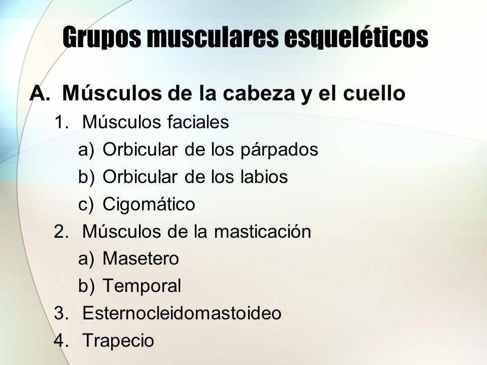 Grupos musculares esqueléticos A.Músculos de la cabeza y el cuello 1.Músculos faciales a)Orbicular de los párpados b)Orbicular de los labios c)Cigomát