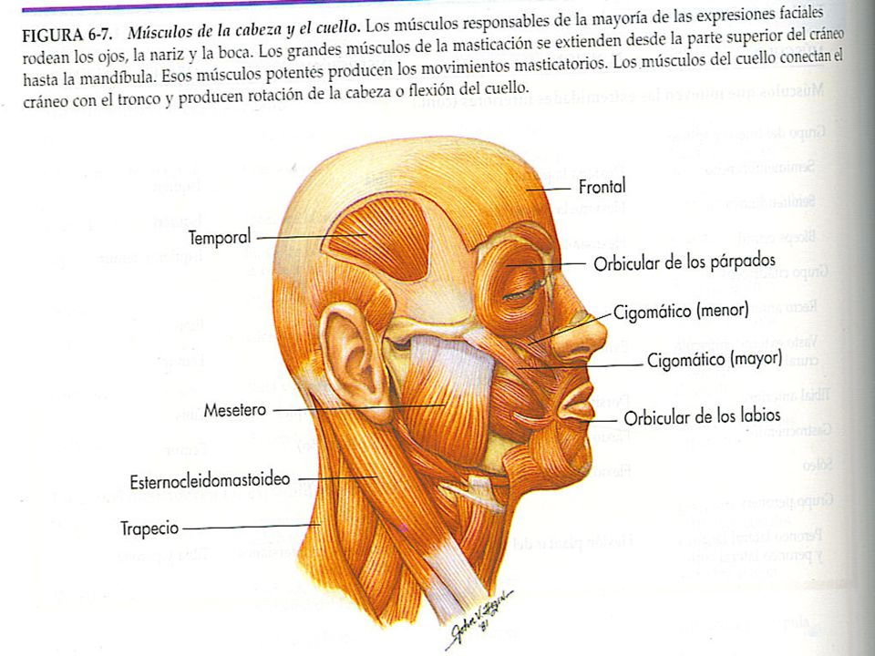 Grupos musculares esqueléticos B.Músculos que mueven las extremidades superiores.