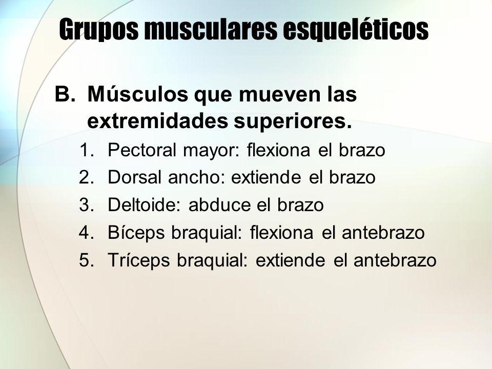 Grupos musculares esqueléticos C.Músculos del tronco 1.Músculos abdominales a)Recto anterior mayor del abdomen b)Oblicuo externo c)Oblicuo interno d)Transverso del abdomen 2.Músculos respiratorios a)Músculos intercostales b)Diafragma