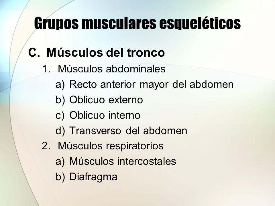 Grupos musculares esqueléticos C.Músculos del tronco 1.Músculos abdominales a)Recto anterior mayor del abdomen b)Oblicuo externo c)Oblicuo interno d)T