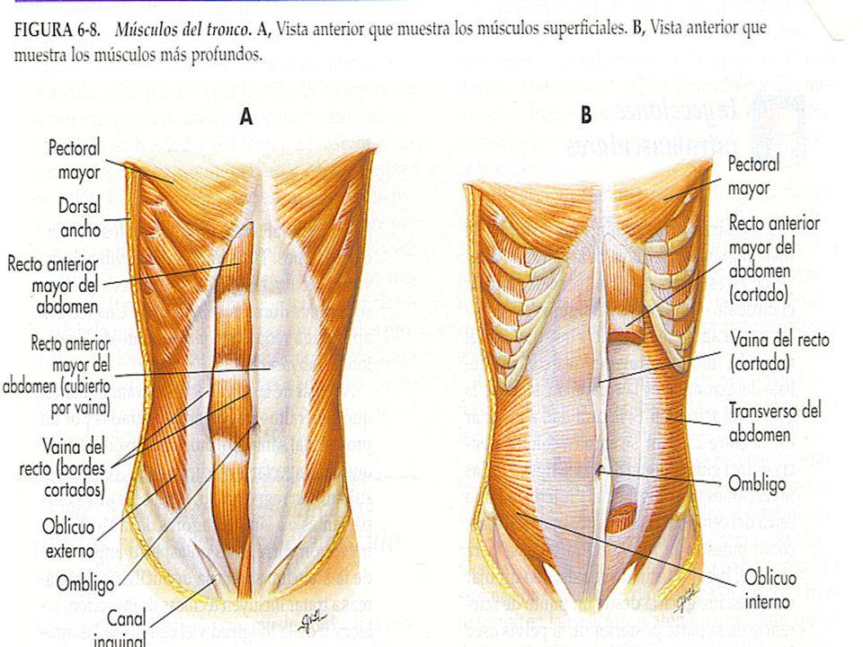 Grupos musculares esqueléticos D.Músculos que mueven las extremidades inferiores 1.Psoasílico: flexiona el muslo 2.Gluteo mayor: extiende el muslo 3.Músculos abductores: abducen los músculos 4.Músculos de la cara dorsal de la rodilla: flexiona la pierna.