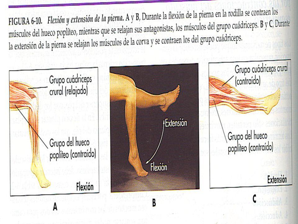 Tipos de movimientos producidos por las contracciones de los músculos esquéleticos Abducción: movimiento de una parte que se aleja de la linea media del cuerpo.