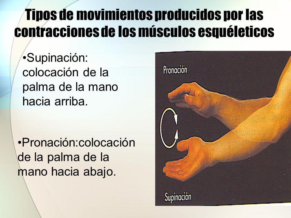Tipos de movimientos producidos por las contracciones de los músculos esquéleticos Dorsiflexión: eleva el dorso o la parte superior del pie.