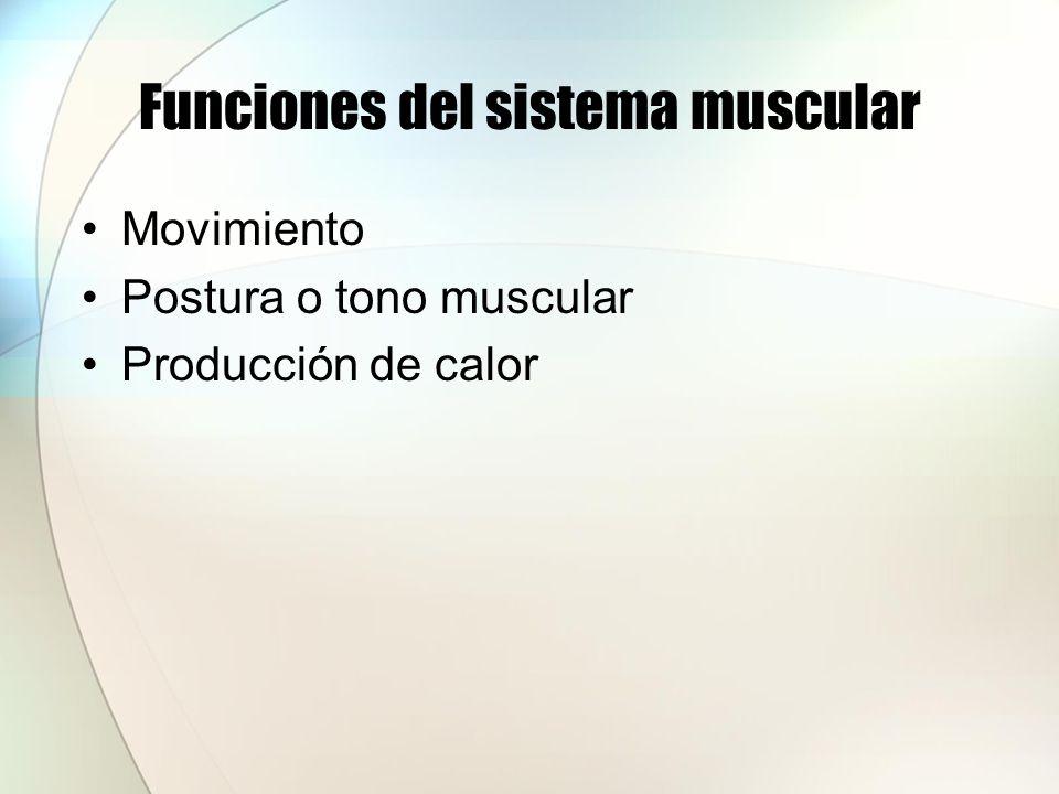 Estructura del músculo esquelético Un músculo esquelético es un órgano compuesto de células musculares esqueléticas y tejido conjuntivo.