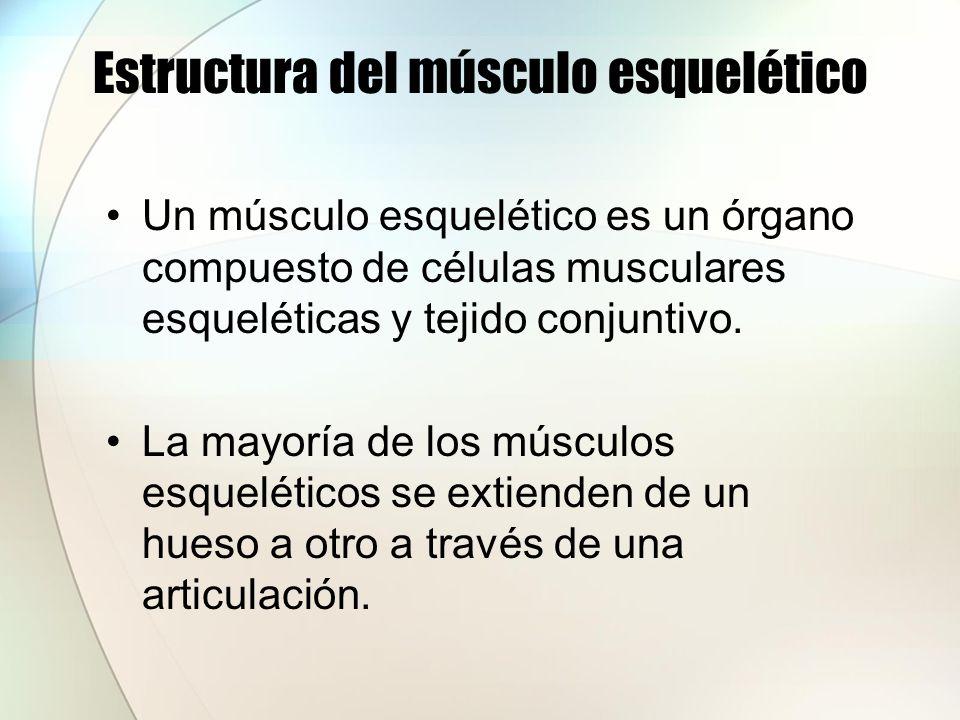 Estructura del músculo esquelético Partes de un músculo esquelético Origen: punto de conexión con el hueso que permanece relativamente estacionario o fijo cuando ocurre el movimiento en la articulación.