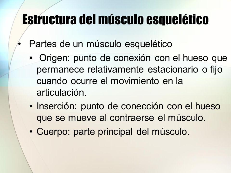 Estructura del músculo esquelético Partes de un músculo esquelético Origen: punto de conexión con el hueso que permanece relativamente estacionario o