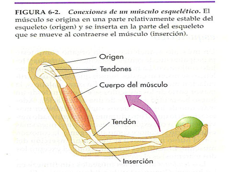 Tipos de contracciones del músculo esquelético Contracción espasmódica- el espasmo es una respuesta brusca a un estímulo.