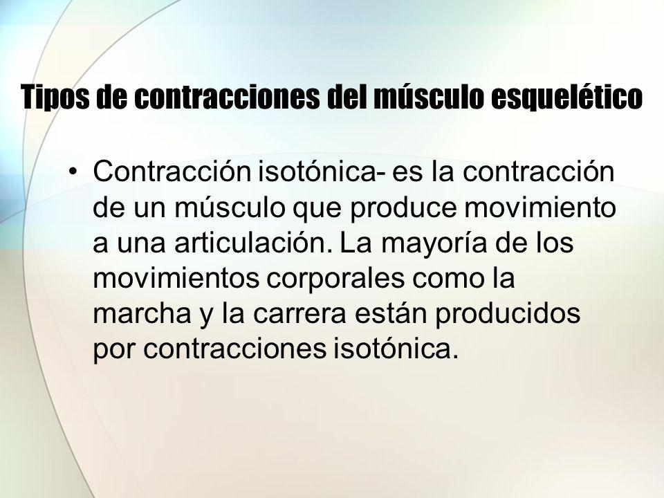 Tipos de contracciones del músculo esquelético Contracción isométrica- es una contracción muscular que no produce movimiento y el conjunto del músculo no se acorta lo que hace que aumenta la tensión dentro del músculo.