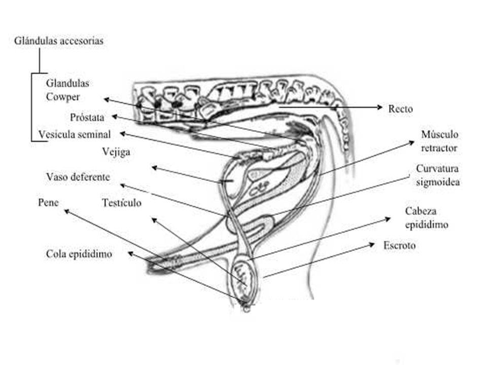 Alteraciones congénitas ( fimosis ) Alteraciones adquiridas : Postitis Fimosis Parafimosis Prolapso prepucial Introversión prepucial