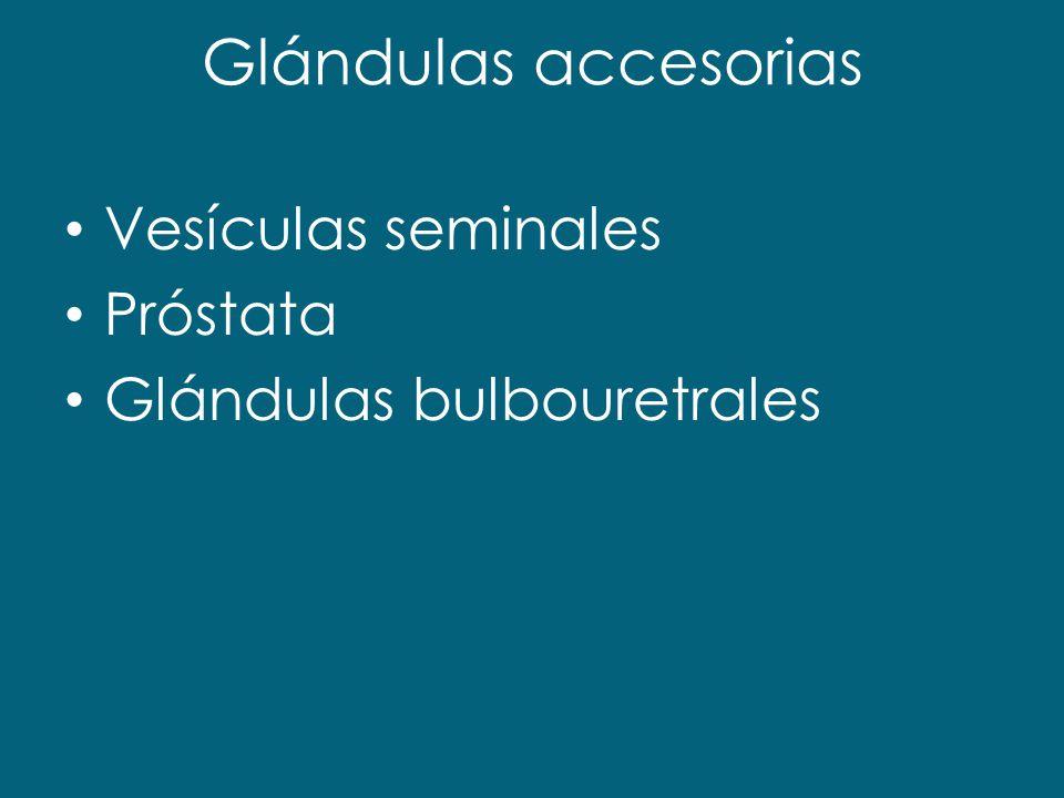 Glándulas accesorias Vesículas seminales Próstata Glándulas bulbouretrales