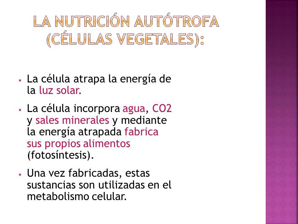 Nombra 2 características de la célula vegetal 1.- 2.-