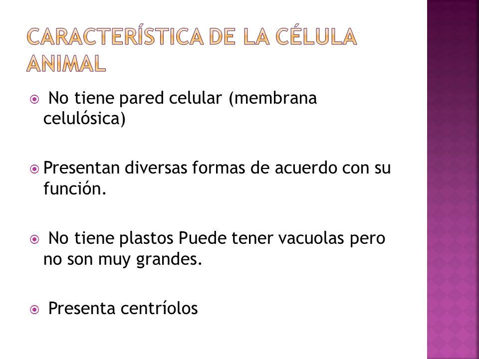  Mitocondrias : Realizan la respiración celular.
