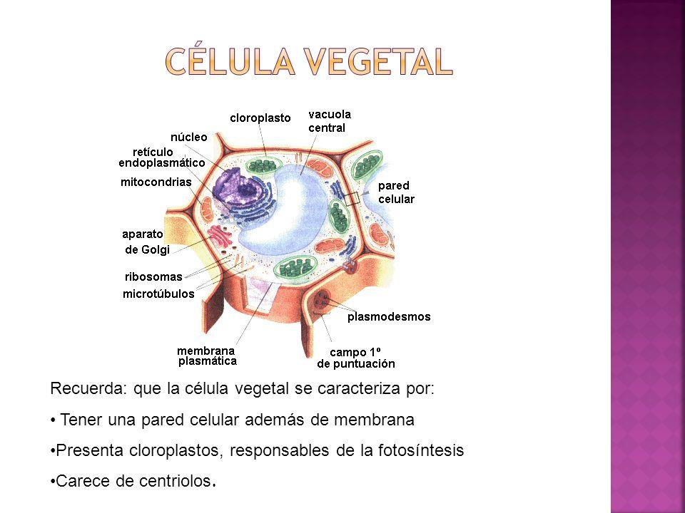 Nombra 5 características de una célula animal 1.- 2.- 3.- 4.-