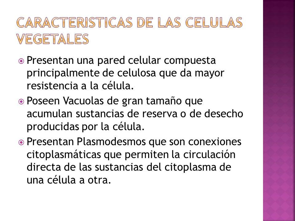 Recuerda: que la célula vegetal se caracteriza por: Tener una pared celular además de membrana Presenta cloroplastos, responsables de la fotosíntesis Carece de centriolos.