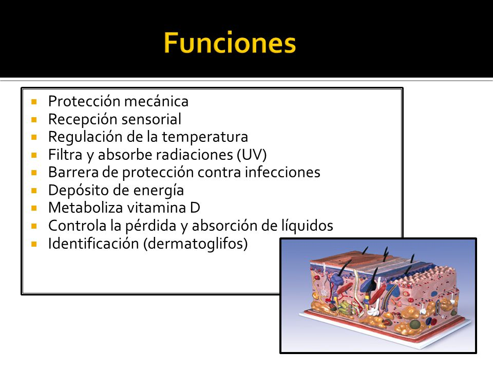  Protección mecánica  Recepción sensorial  Regulación de la temperatura  Filtra y absorbe radiaciones (UV)  Barrera de protección contra infecciones  Depósito de energía  Metaboliza vitamina D  Controla la pérdida y absorción de líquidos  Identificación (dermatoglifos)