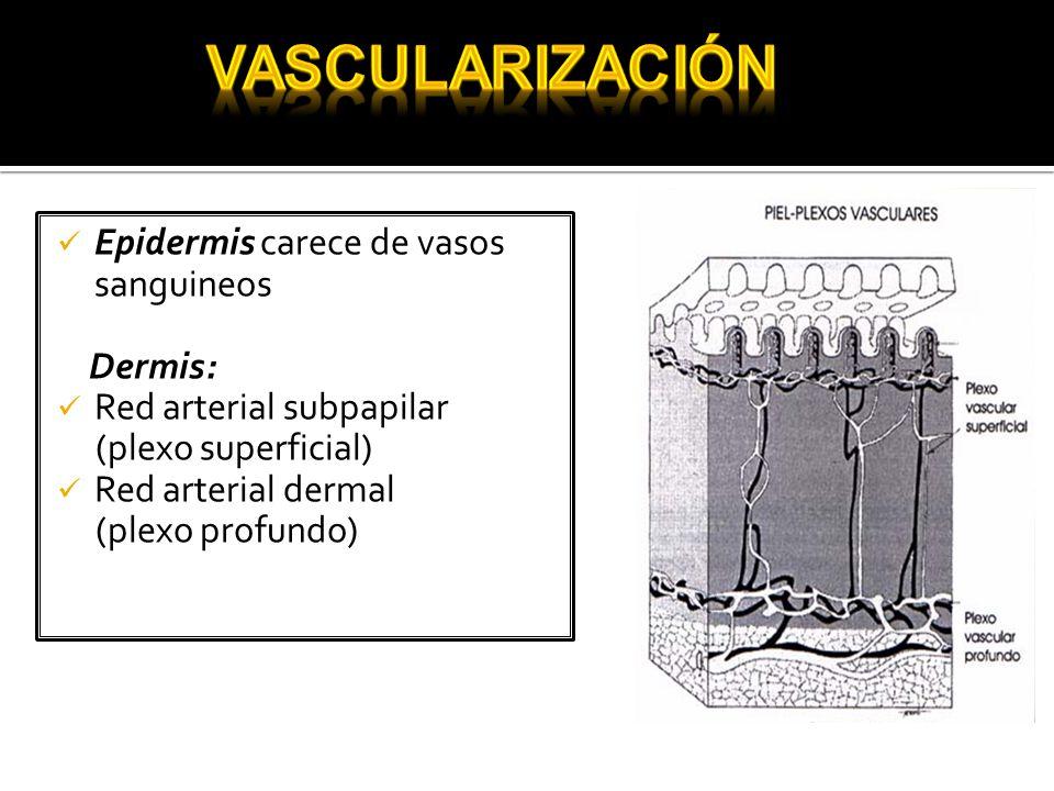 Epidermis carece de vasos sanguineos Dermis: Red arterial subpapilar (plexo superficial) Red arterial dermal (plexo profundo)