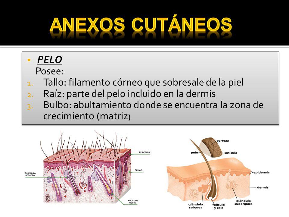  UÑAS (1-2mm/sem.)  Partes: 1) Borde libre 2) Cuerpo ungueal 3) Lúnula 4) Raíz (periónix o cutícula) 5) Ceja ungueal  UÑAS (1-2mm/sem.)  Partes: 1) Borde libre 2) Cuerpo ungueal 3) Lúnula 4) Raíz (periónix o cutícula) 5) Ceja ungueal