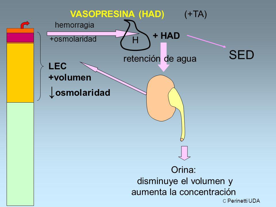 Orina: disminuye el volumen y aumenta la concentración VASOPRESINA (HAD) + HAD SED hemorragia +osmolaridad retención de agua LEC +volumen ↓ osmolaridad (+TA) H C Perinetti UDA