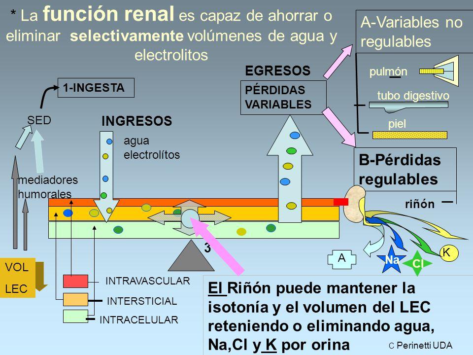 * La función renal es capaz de ahorrar o eliminar selectivamente volúmenes de agua y electrolitos El Riñón puede mantener la isotonía y el volumen del LEC reteniendo o eliminando agua, Na,Cl y K por orina 1-INGESTA EGRESOS agua electrolítos SED VOL LEC mediadores humorales INGRESOS riñón pulmón PÉRDIDAS VARIABLES 3 INTRAVASCULAR INTERSTICIAL INTRACELULAR A-Variables no regulables tubo digestivo piel B-Pérdidas regulables A Na Cl K C Perinetti UDA