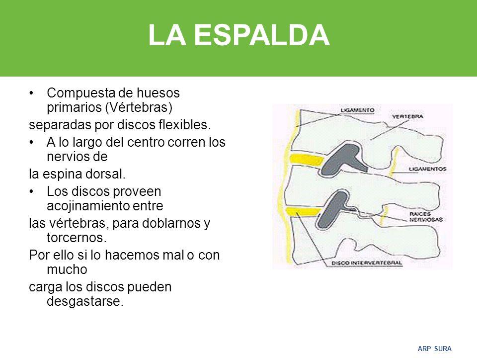 ARP SURA LA ESPALDA Compuesta de huesos primarios (Vértebras) separadas por discos flexibles.