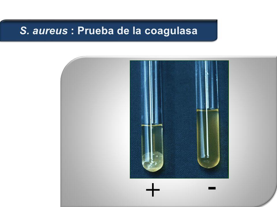 + - S. aureus : Prueba de la coagulasa