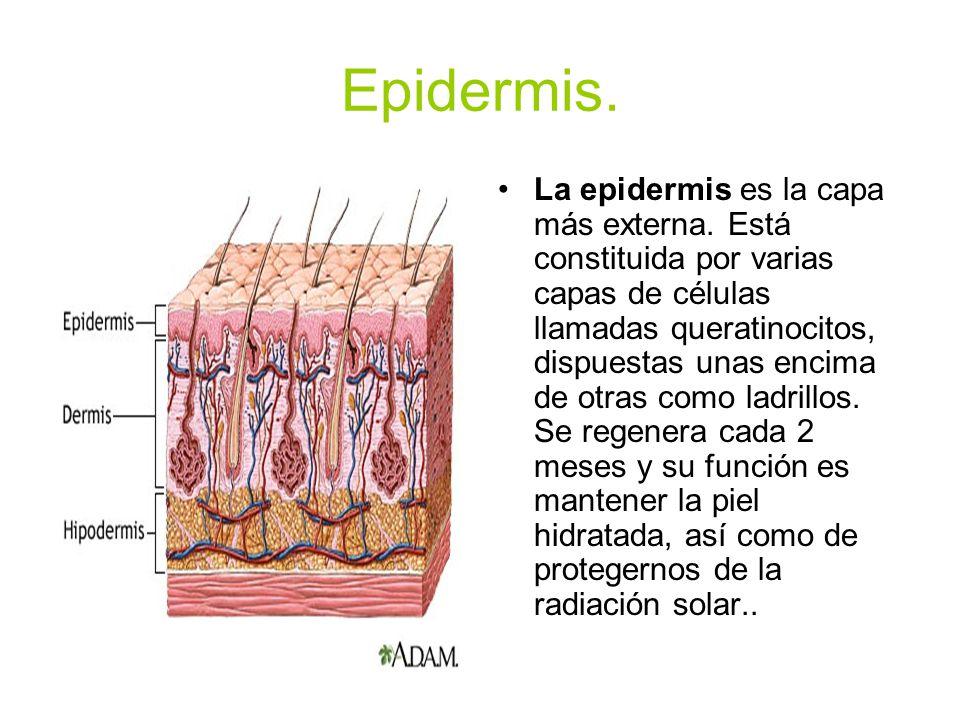 Epidermis.La epidermis es la capa más externa.